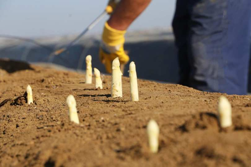 Sprouting Asparagus plants in soil.