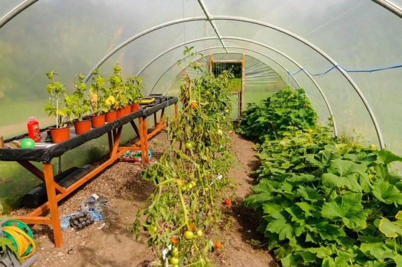 Fully grown plants inside a polytunnel.