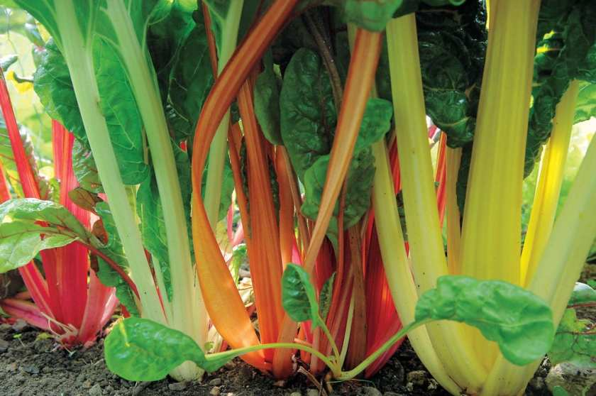 Close up of Swiss Chard roots in the ground.