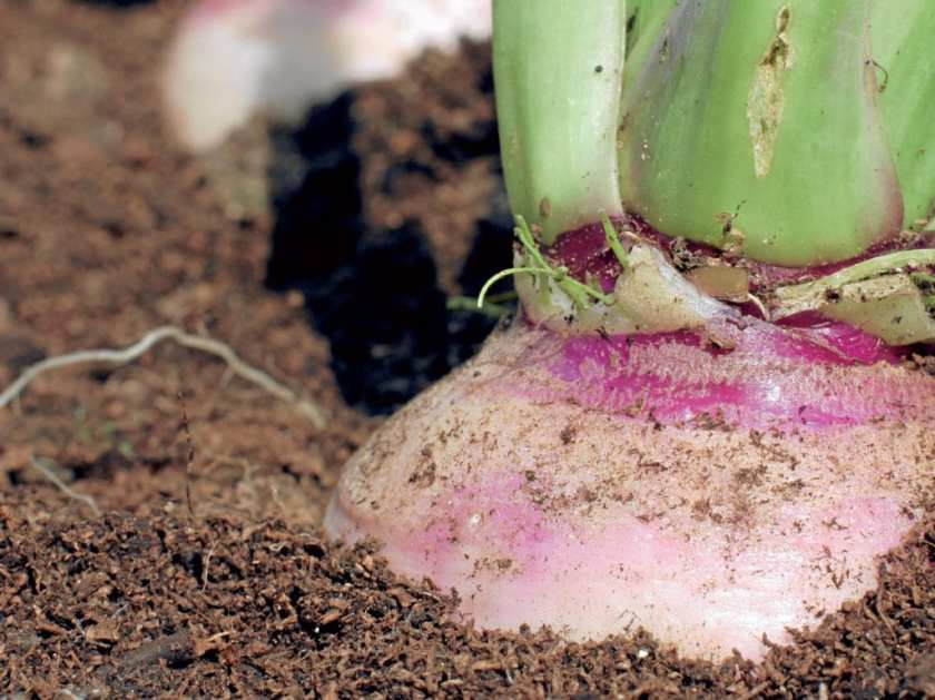 Close up of a turnip bulb in the ground.