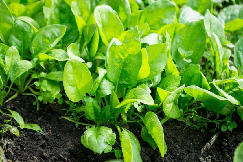 Spinach growing in the garden.