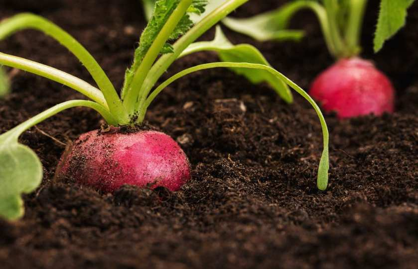 Close up of radish planted in the soil.