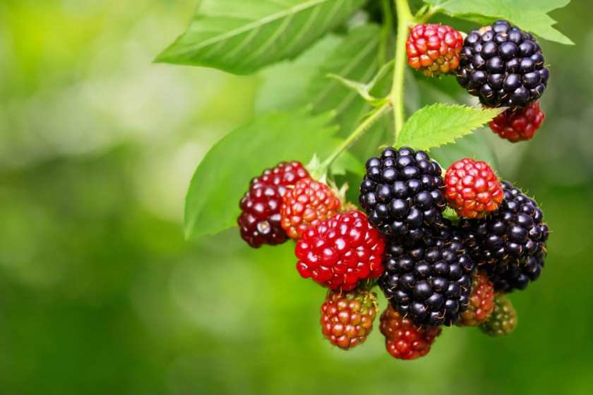 A bunch of blackberries hanging from their bush.