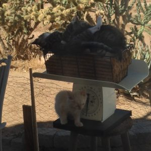 Kittens on a Kitchen Scale Playing