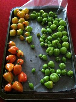 Garden grown ghost peppers