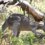 Grasendes Känguru am Point Lookout Stradbroke Island Australien