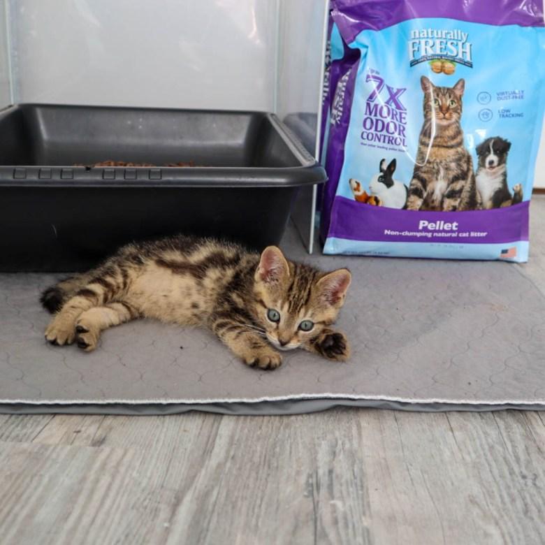 cute tabby kitten walnut cat litter