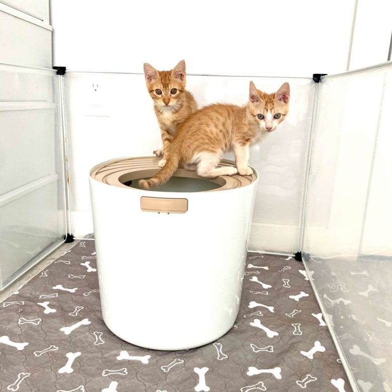 top entry litter box with orange tabby kittens