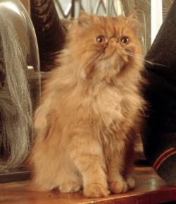 Top 5 Favorite Feline Actors - Crookshanks from Harry Potter