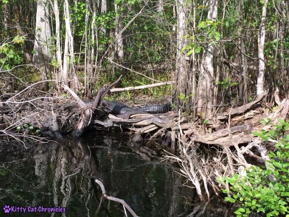 Wordless Wednesday: Welaka, Alligator on the St. John's River