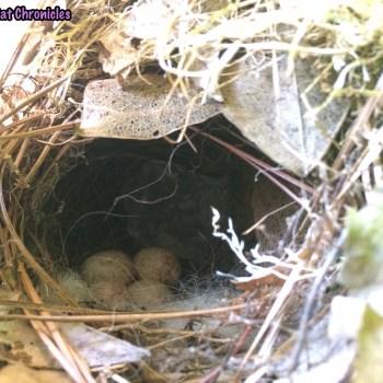 We're on Baby Bird Watch: bird's nest with eggs
