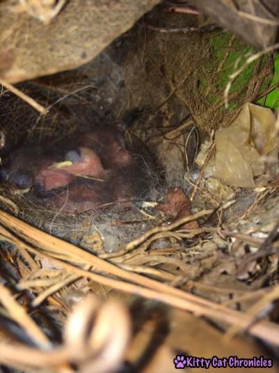 The Carolina Wrens have Finally Fledged - baby birds carolina wrens