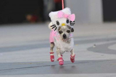 Hello Kitty Chihuahua