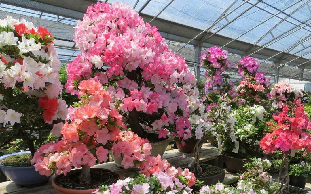 Marzo: Lavori e cure nei bonsai