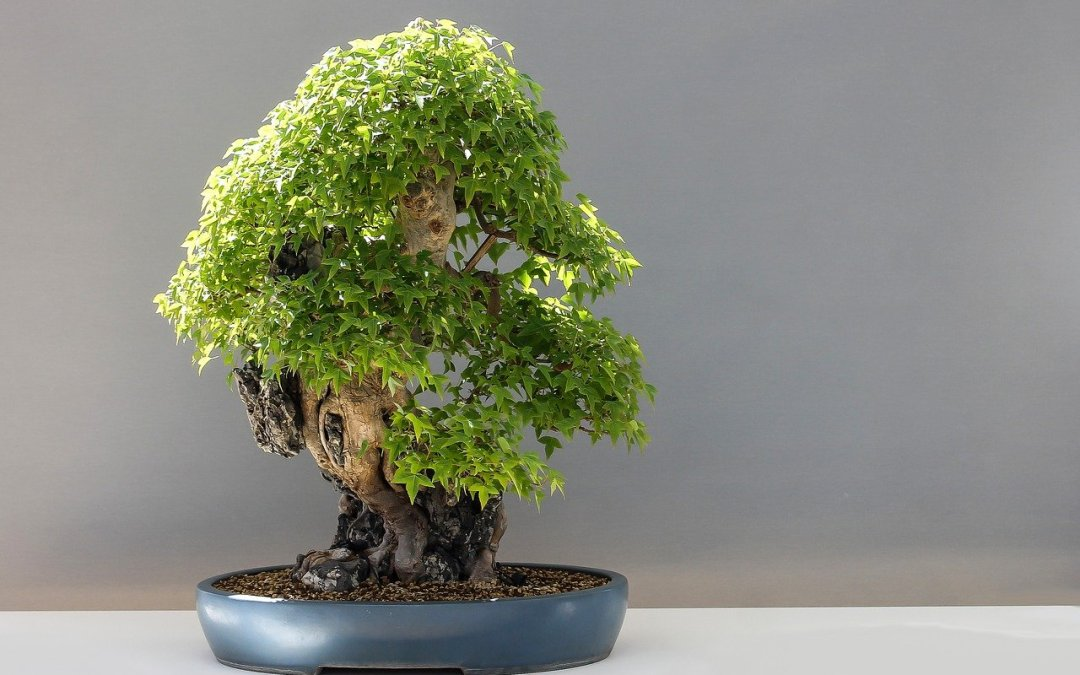 acero tridente bonsai