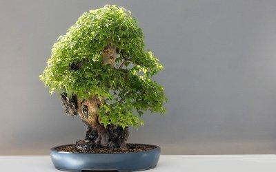 Giugno: Lavori e cure nei bonsai