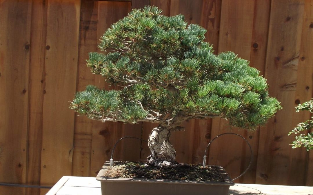 bonsai di pino bianco giapponese