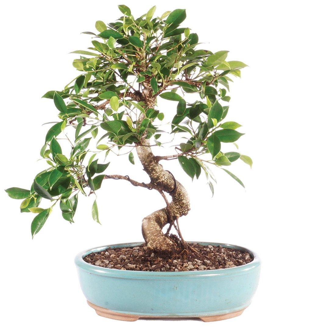 il bonsai di ficus può essere da interno o esterno