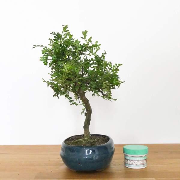 bonsai di pepe con foglie piccole
