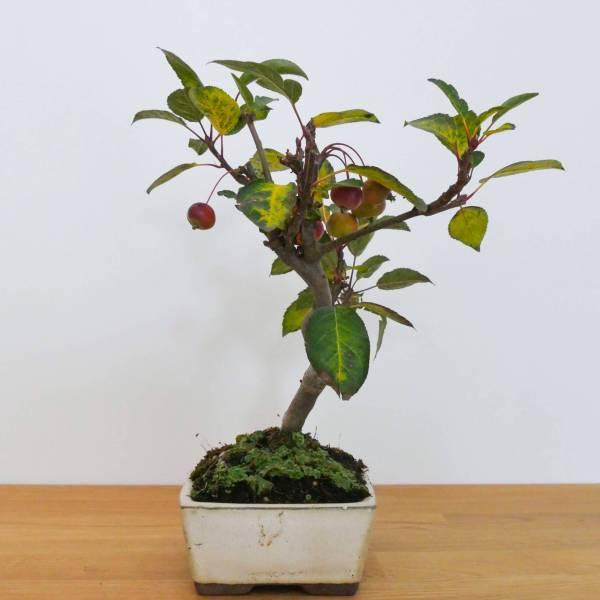 bonsai di melo produce fiori bianchi e frutti