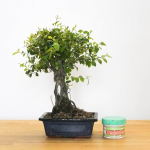 bonsai sagerethia