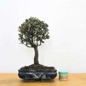 quercia da sughero bonsai