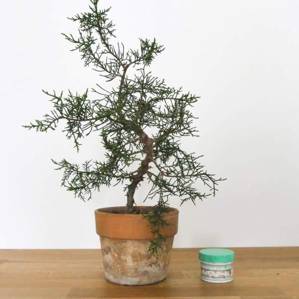 pre bonsai di cipresso