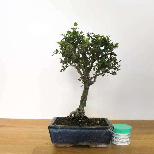 bonsai di cotoneaster