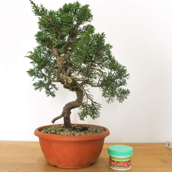 bonsai o preconsci di ginepro kishu