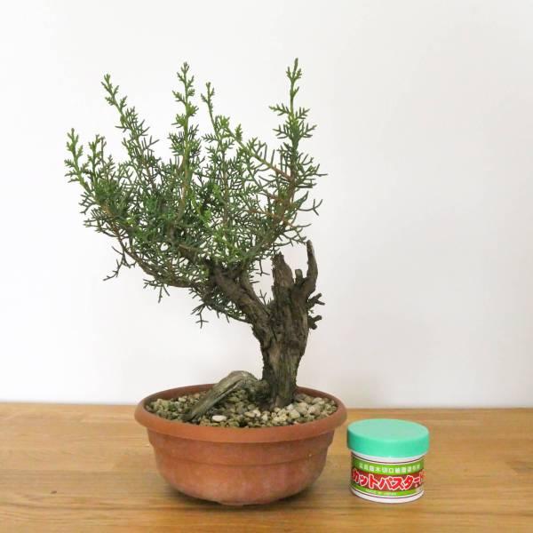 pre bonsai di cipresso con secco