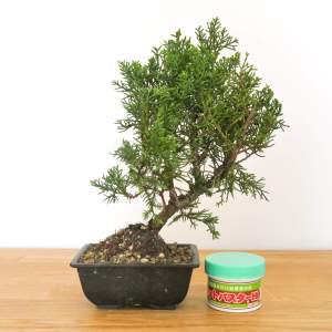 pre bonsai ginepro kishu