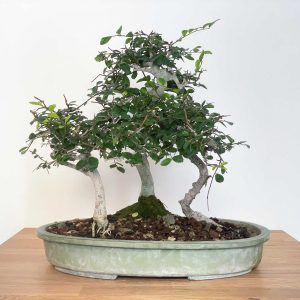 bonsai bosco olmo cinese