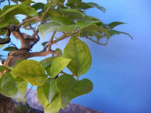Come Proteggere il Bonsai dalle Malattie di Ottobre
