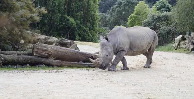 auckland zoo rino