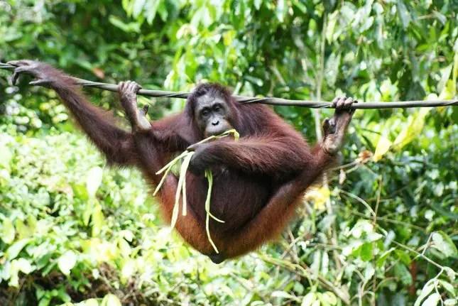 Borneo male orangutan
