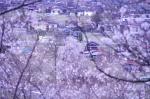 高遠城趾公園から見えるしだれ桜