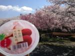 クリーンレイク諏訪の桜