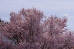 標高1,000mの桜