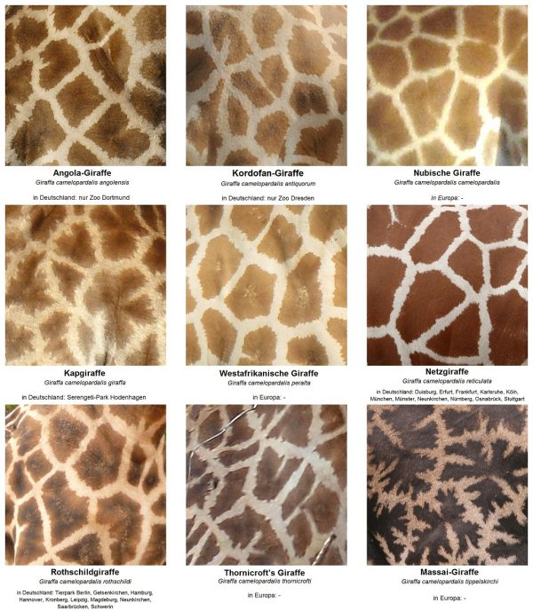 The_fur_pattern_of_all_nine_Giraffa_camelopardalis_subspecies - Kopie