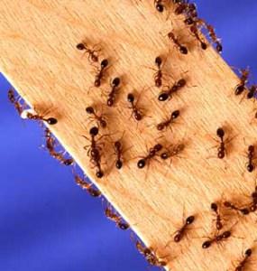 Hvordan bli kvitt maur - 7 gode kjerringråd