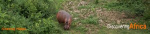 DiscoveringAfrica Hippos