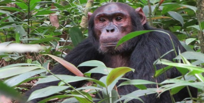 Chimpanzee trekking safaris in Uganda