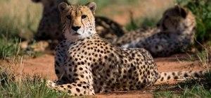Cheetah in Kidepo park