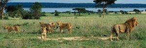 Uganda gorilla tours and wildlife safaris