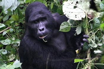 Budget Gorilla Trekking Safaris Rwanda