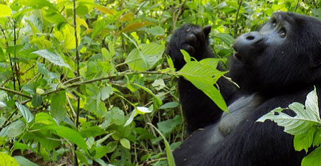 3 Days gorilla tracking Uganda
