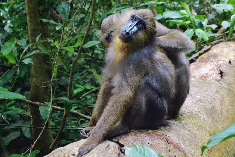 Monyet Punah Ditemukan Lagi Di Indonesia