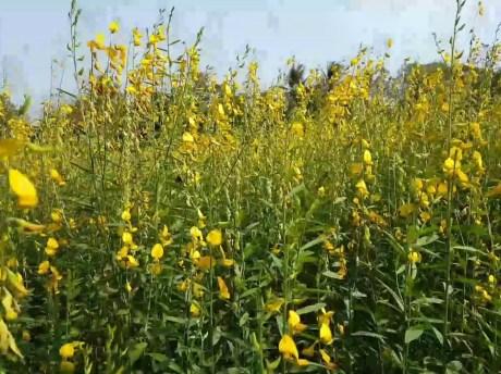 ปอเทือง (sunn hemp) เป็นพืชในตระกูลถั่วที่นิยมปลูกมาก