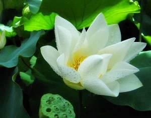 white_lotus_