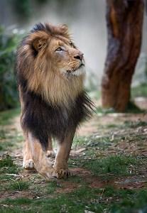 Lion-12